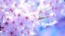桜ロケのプレフォトの方へ -ヴィーナスロード高崎よりー